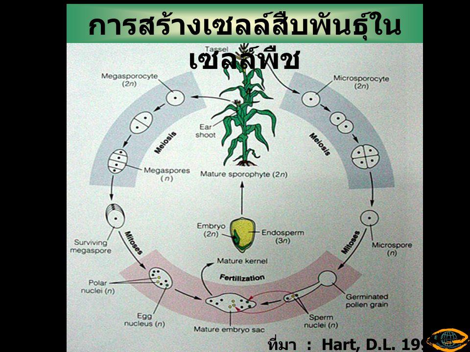 การสร้างเซลล์สืบพันธุ์ในเซลล์พืช