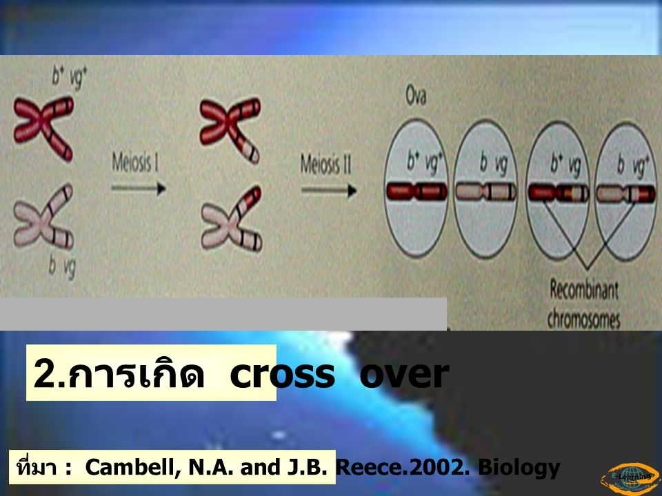 2.การเกิด cross over ที่มา : Cambell, N.A. and J.B. Reece.2002. Biology