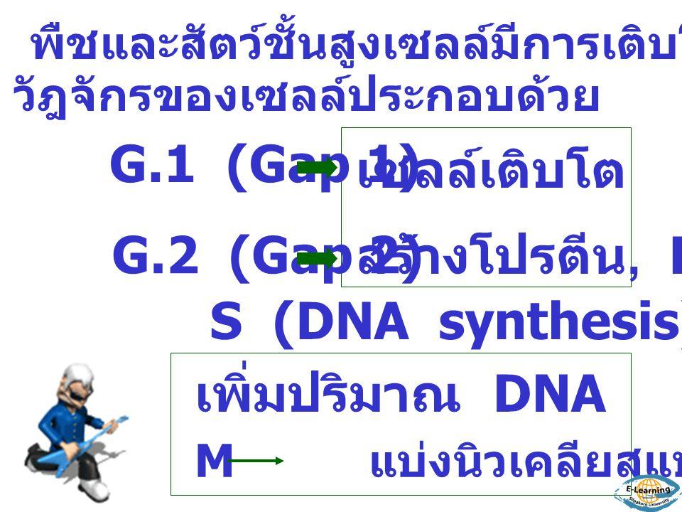 เซลล์เติบโต G.1 (Gap 1) สร้างโปรตีน, RNA G.2 (Gap 2) S (DNA synthesis)