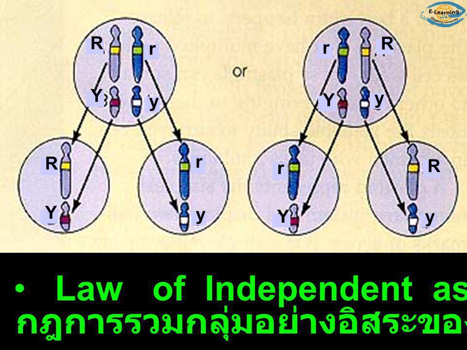 ยีนต่างโครโมโซมมีการรวมกลุ่มอย่างอิสระ