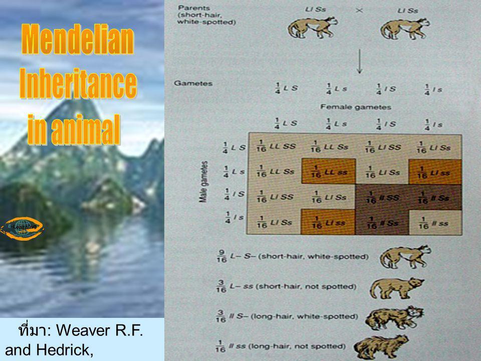 Mendelian Inheritance in animal ที่มา: Weaver R.F. and Hedrick,