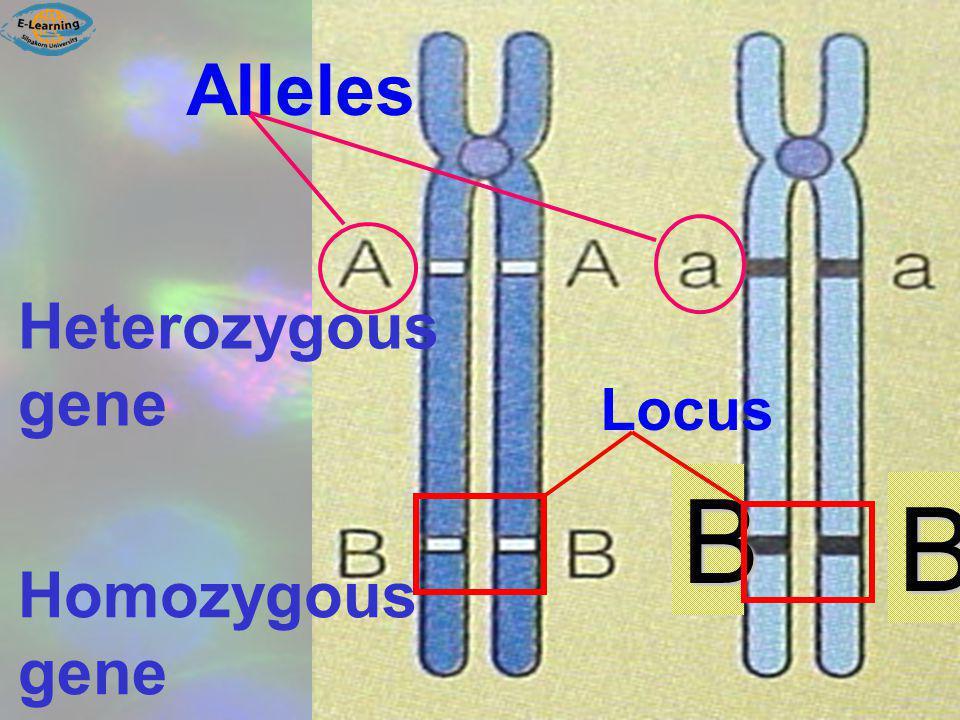 Alleles Heterozygous gene Locus B B Homozygous gene