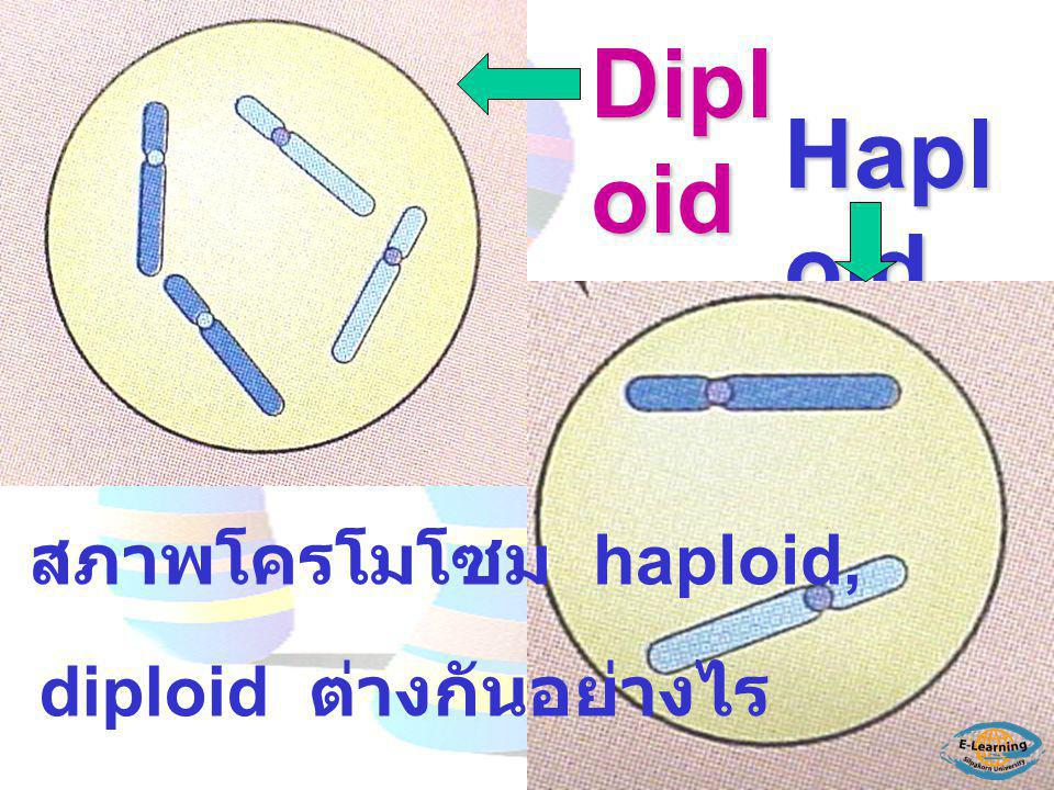 Diploid Haploid สภาพโครโมโซม haploid, diploid ต่างกันอย่างไร