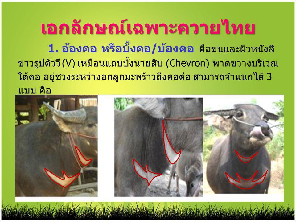 เอกลักษณ์เฉพาะควายไทย