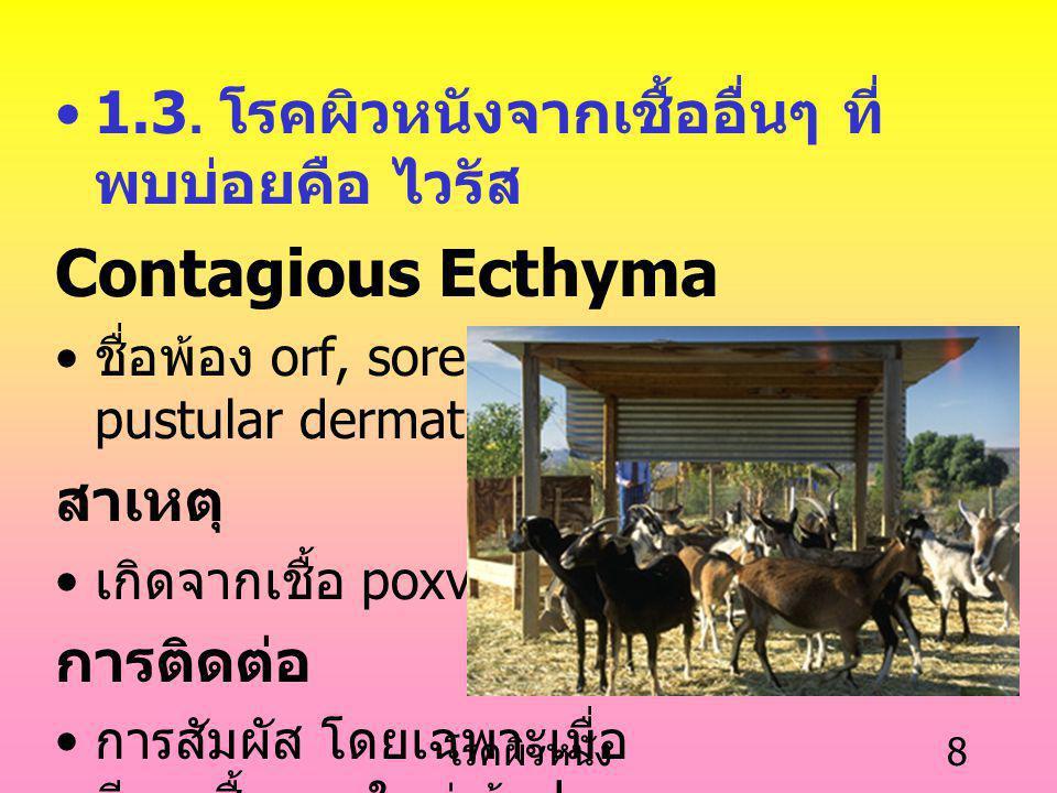 Contagious Ecthyma 1.3. โรคผิวหนังจากเชื้ออื่นๆ ที่พบบ่อยคือ ไวรัส