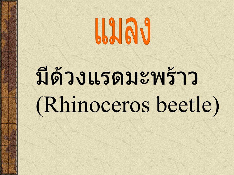 มีด้วงแรดมะพร้าว (Rhinoceros beetle)