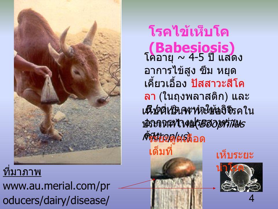 โรคไข้เห็บโค (Babesiosis)