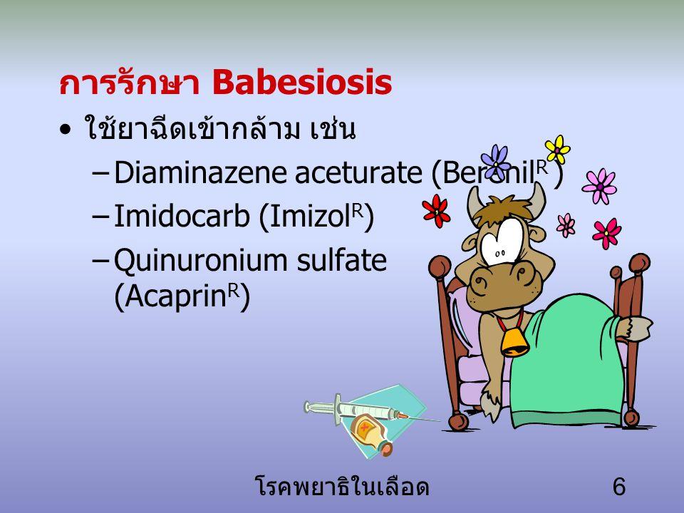 การรักษา Babesiosis ใช้ยาฉีดเข้ากล้าม เช่น