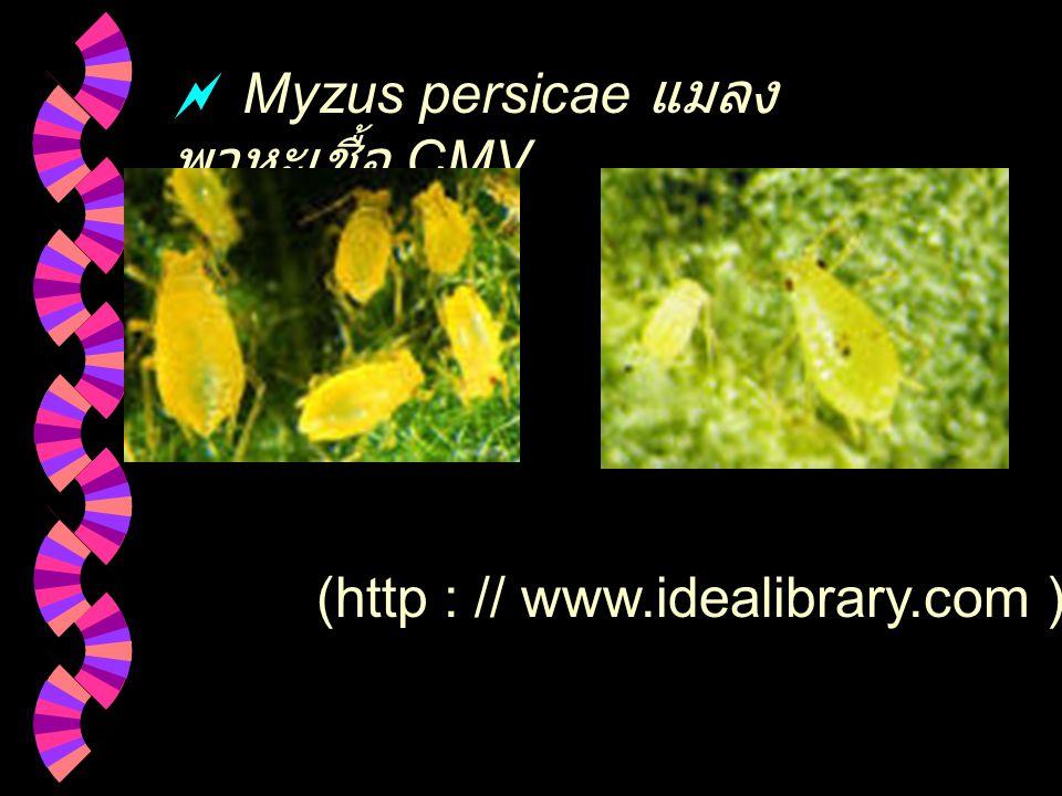 Myzus persicae แมลงพาหะเชื้อ CMV