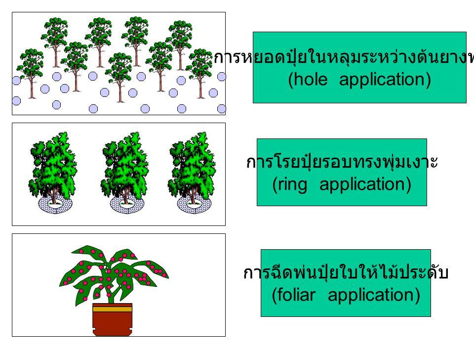 การหยอดปุ๋ยในหลุมระหว่างต้นยางพารา (hole application)
