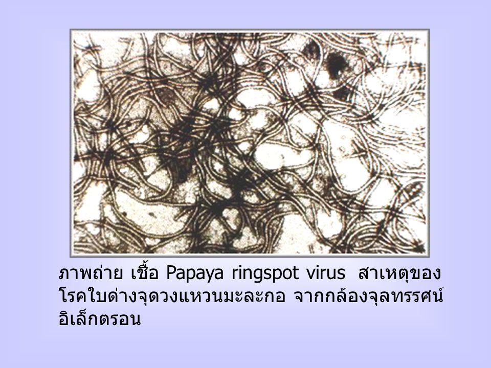 ภาพถ่าย เชื้อ Papaya ringspot virus สาเหตุของโรคใบด่างจุดวงแหวนมะละกอ จากกล้องจุลทรรศน์อิเล็กตรอน
