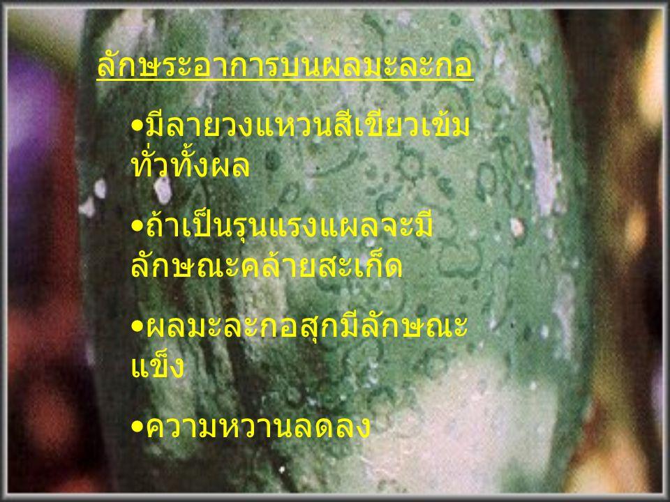 ลักษระอาการบนผลมะละกอ
