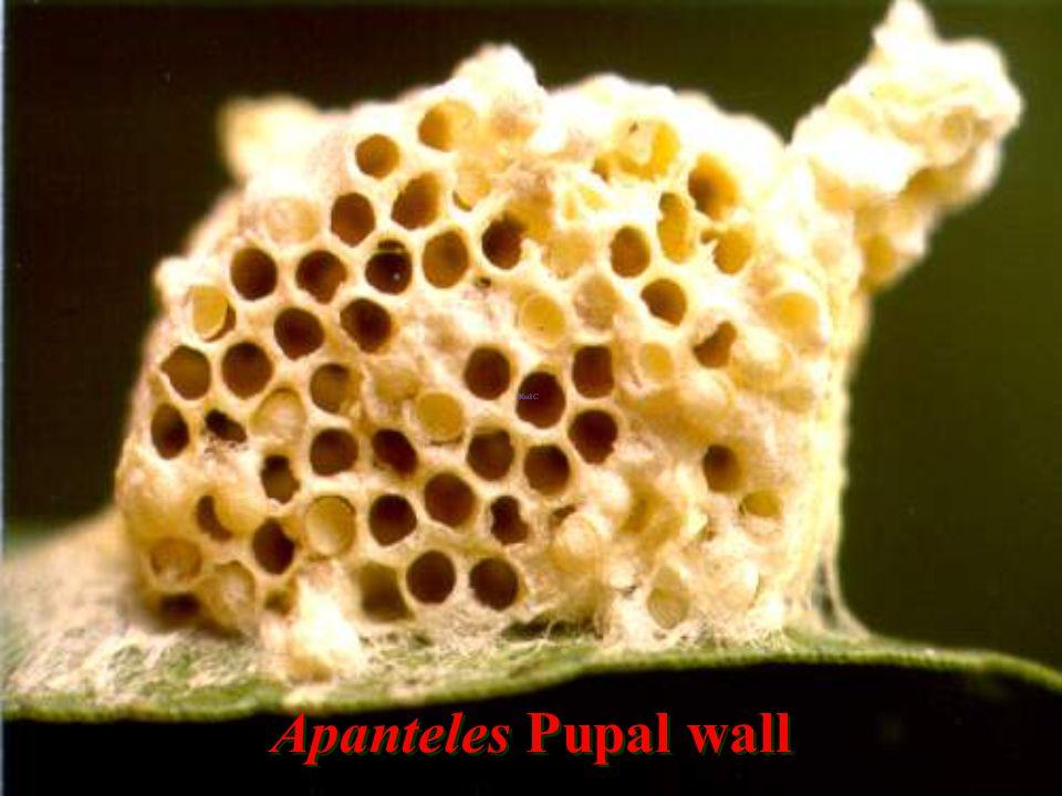 Apanteles Pupal wall
