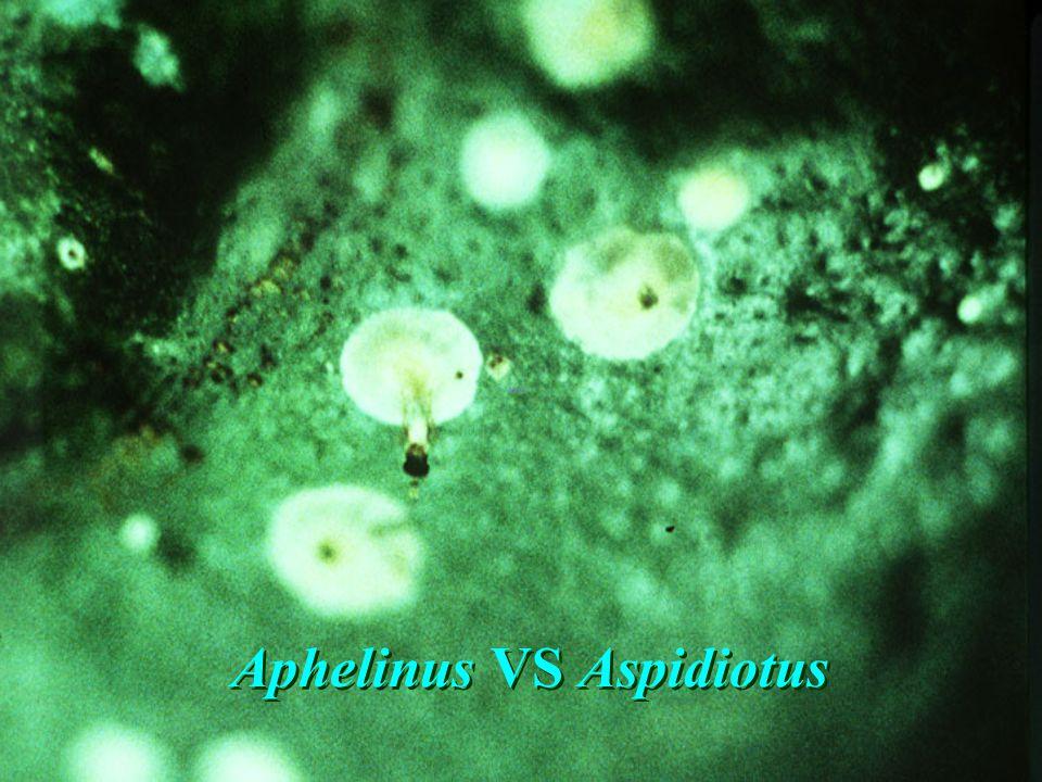 Aphelinus VS Aspidiotus