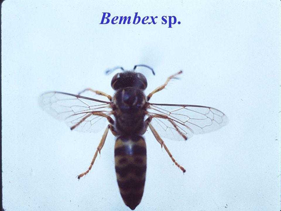 Bembex sp.