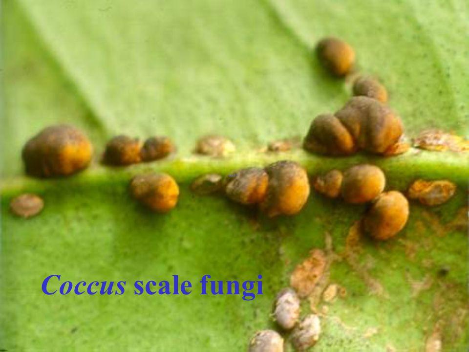 Coccus scale fungi