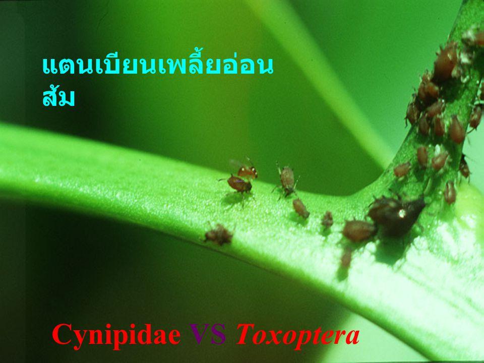 Cynipidae VS Toxoptera