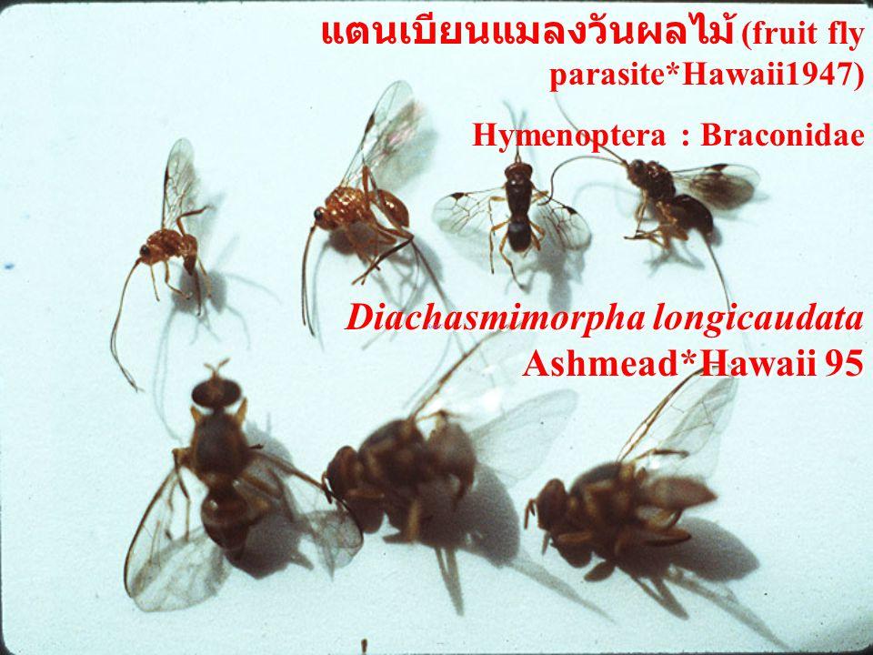 Diachasmimorpha longicaudata Ashmead*Hawaii 95