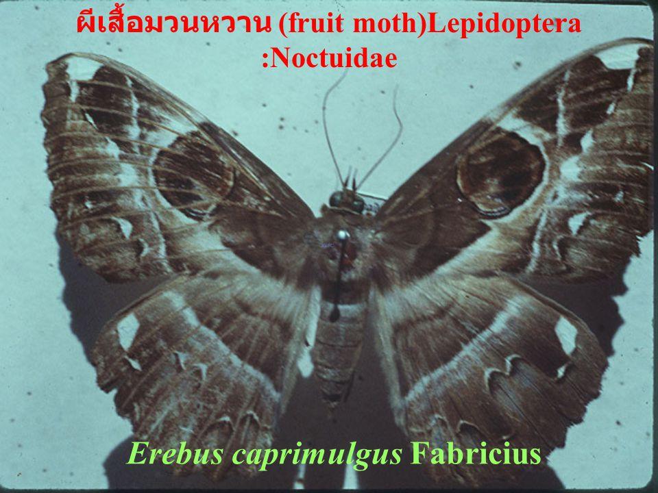 Erebus caprimulgus Fabricius