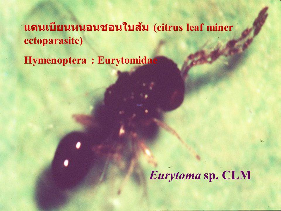 Eurytoma sp. CLM แตนเบียนหนอนชอนใบส้ม (citrus leaf miner ectoparasite)