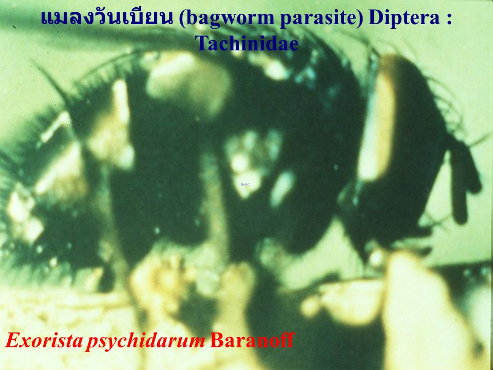 Exorista psychidarum Baranoff