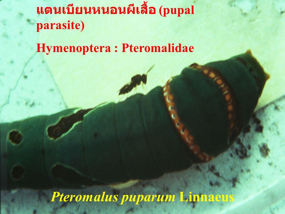 Pteromalus puparum Linnaeus