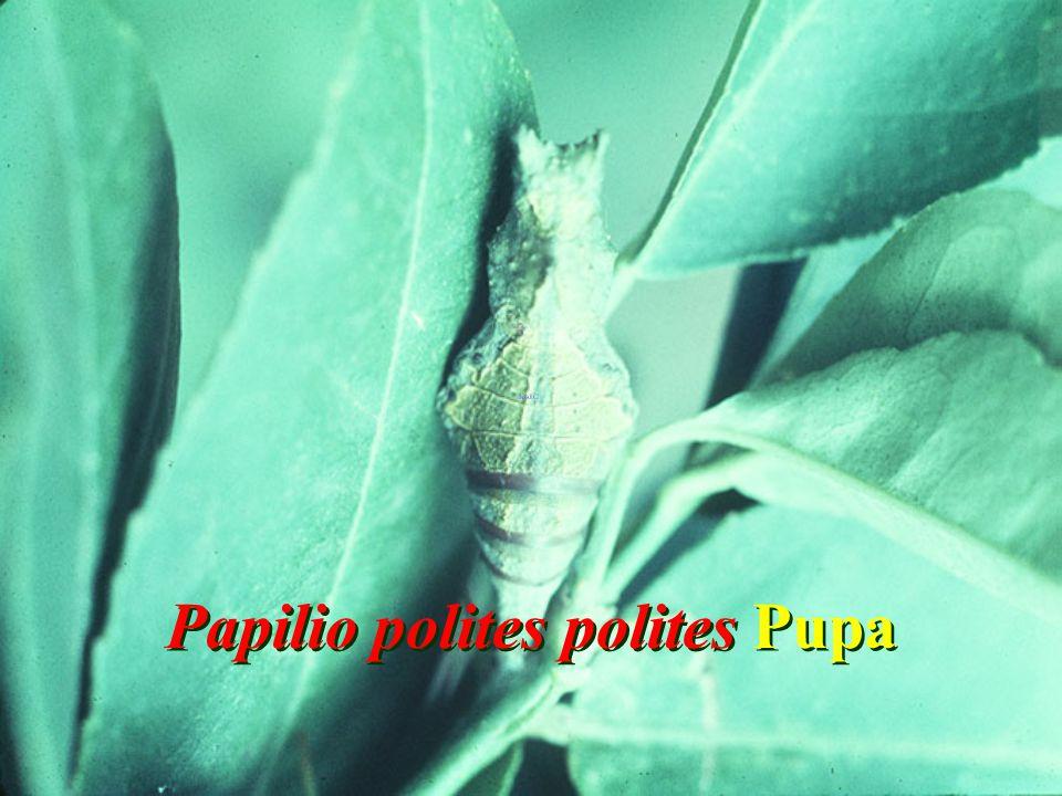 Papilio polites polites Pupa