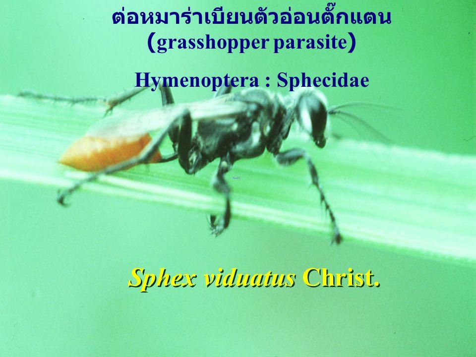 ต่อหมาร่าเบียนตัวอ่อนตั๊กแตน (grasshopper parasite)
