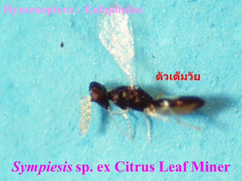 Sympiesis sp. ex Citrus Leaf Miner
