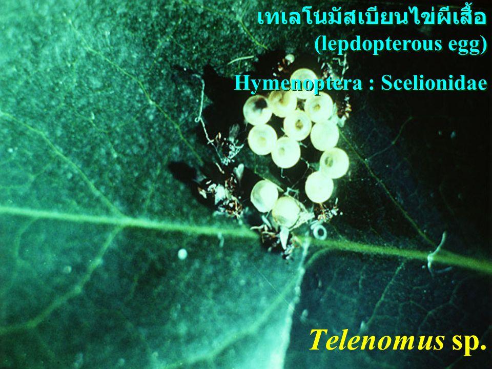 Telenomus sp. เทเลโนมัสเบียนไข่ผีเสื้อ (lepdopterous egg)
