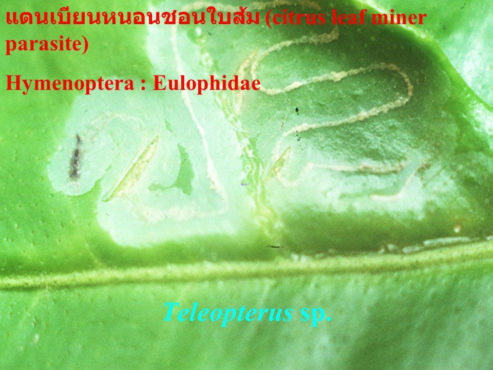 Teleopterus sp. แตนเบียนหนอนชอนใบส้ม (citrus leaf miner parasite)