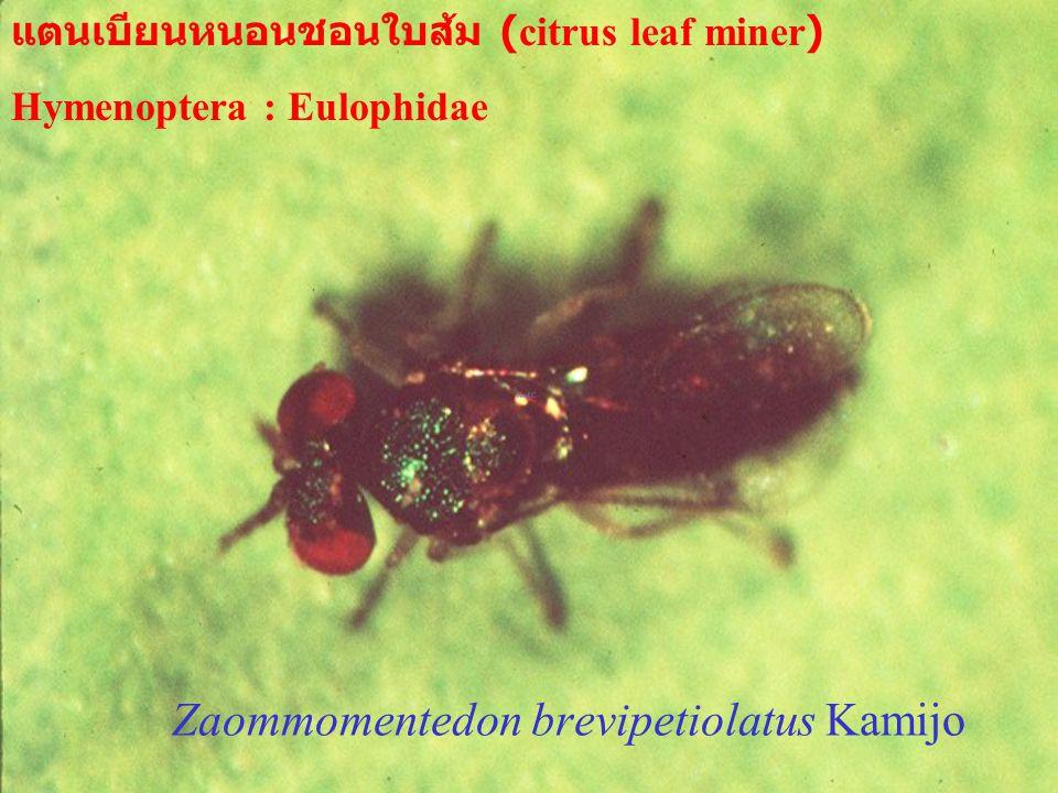Zaommomentedon brevipetiolatus Kamijo