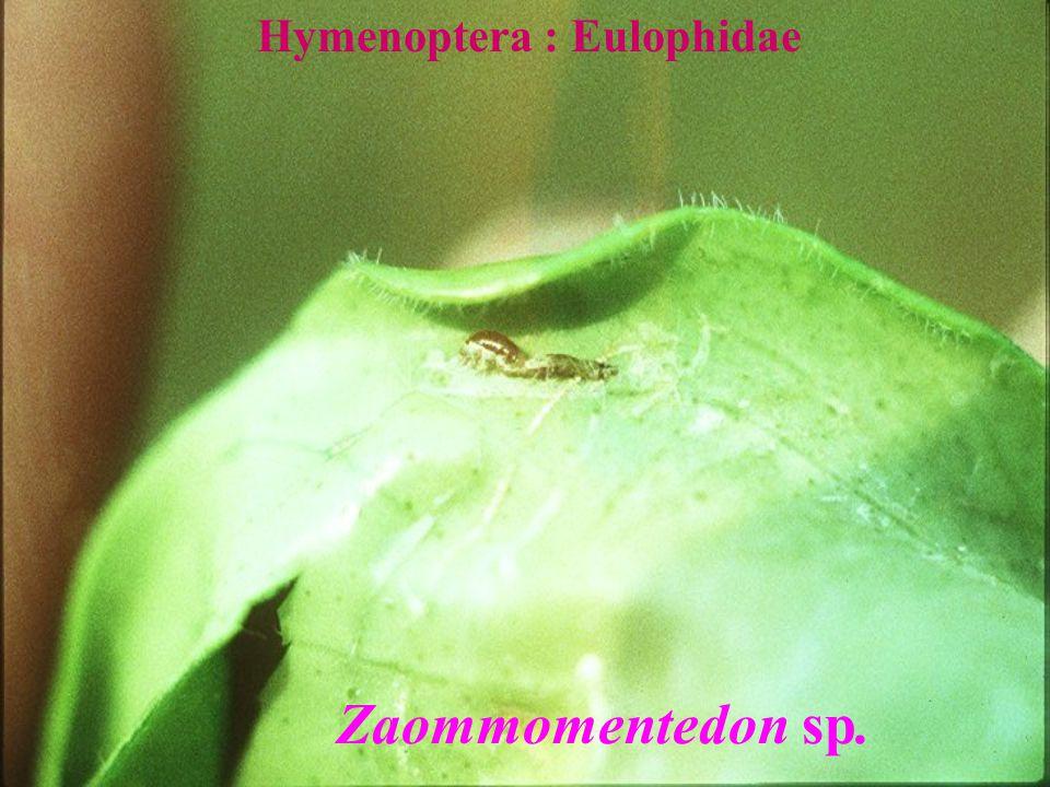 Hymenoptera : Eulophidae