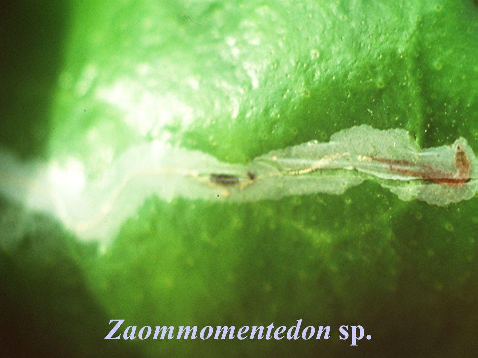 Zaommomentedon sp.