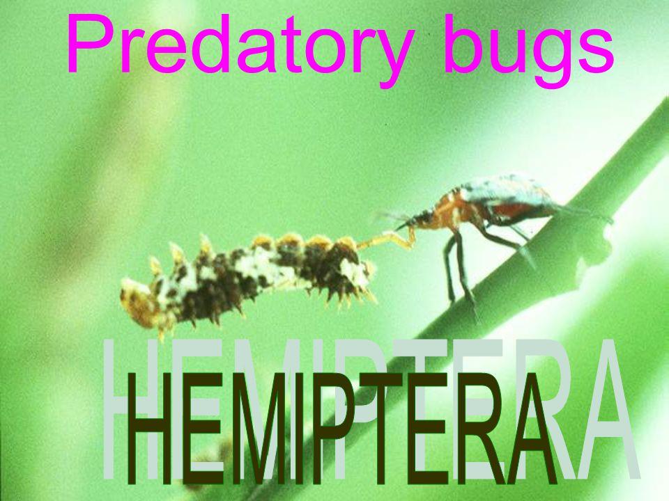 Predatory bugs HEMIPTERA