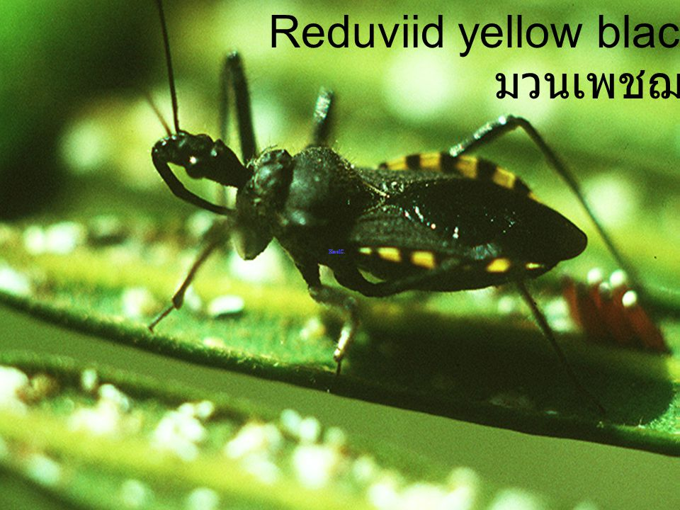 Reduviid yellow black abdominal