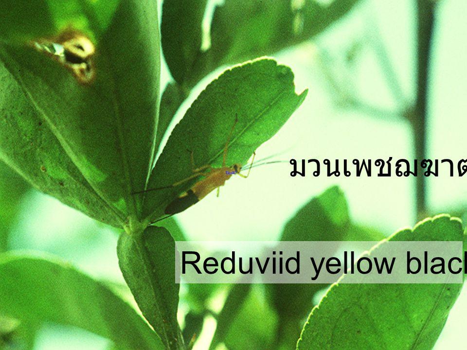 มวนเพชฌฆาต Reduviid yellow black abdominal