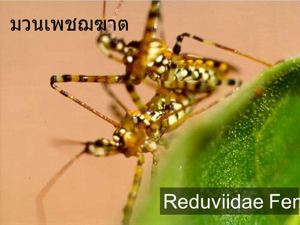 มวนเพชฌฆาต Reduviidae Female,Male