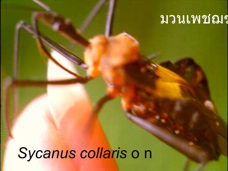 มวนเพชฌฆาต Sycanus collaris o n