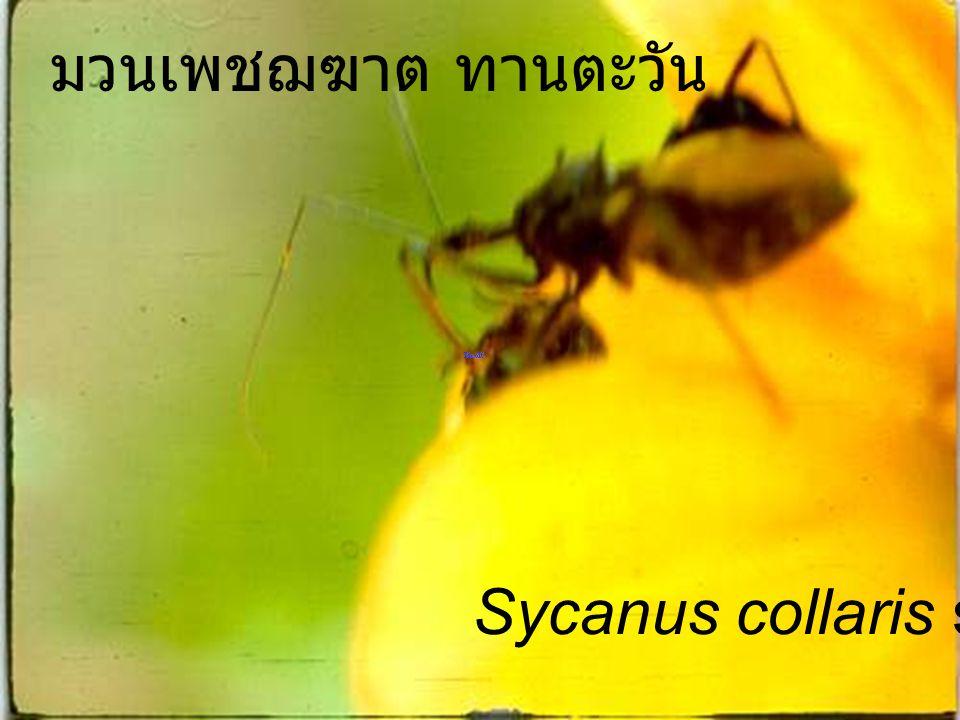 มวนเพชฌฆาต ทานตะวัน Sycanus collaris sunflower