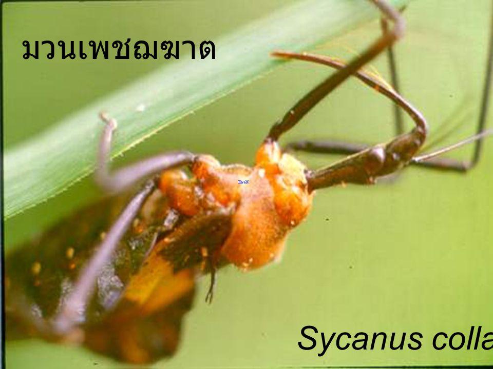 มวนเพชฌฆาต Sycanus collaris usd
