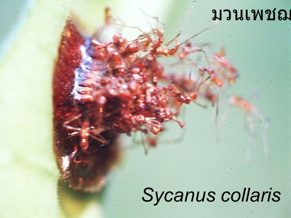 มวนเพชฌฆาต Sycanus collaris
