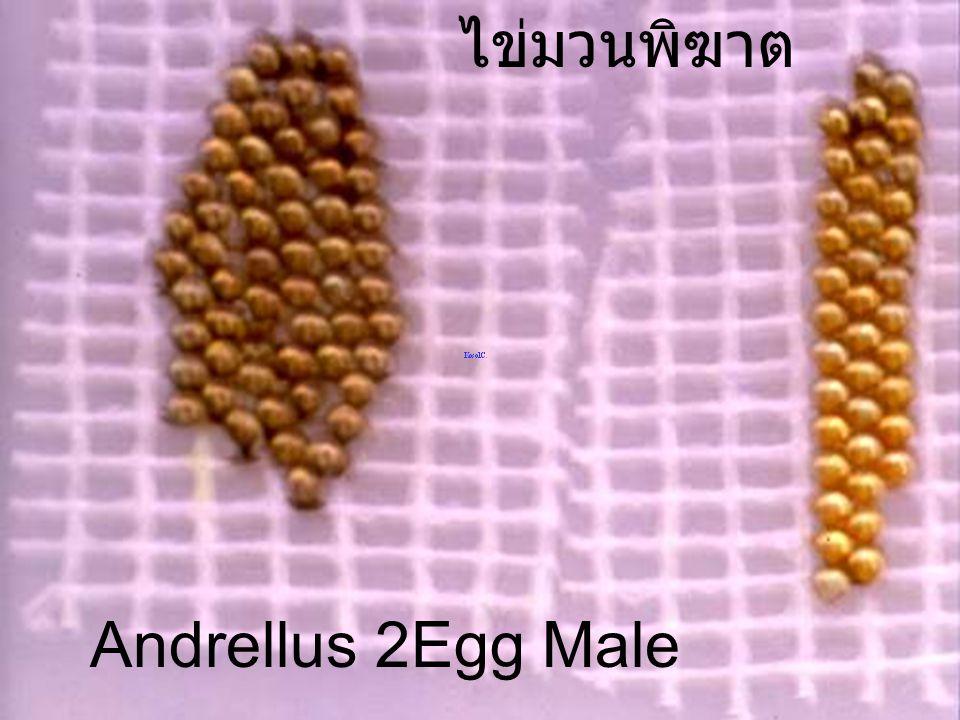 ไข่มวนพิฆาต Andrellus 2Egg Male