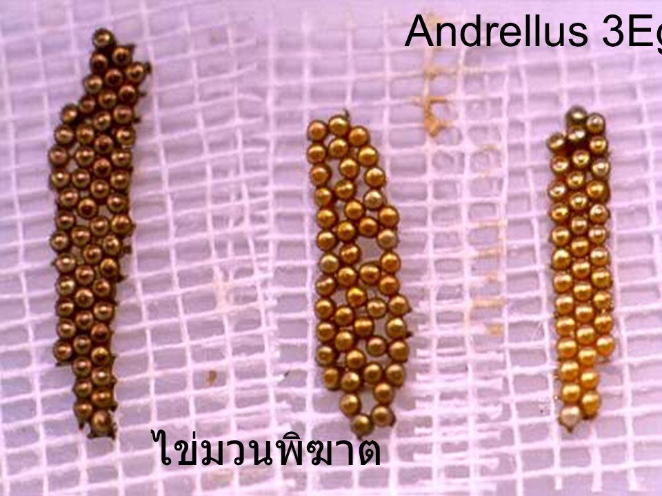 Andrellus 3Egg Male ไข่มวนพิฆาต