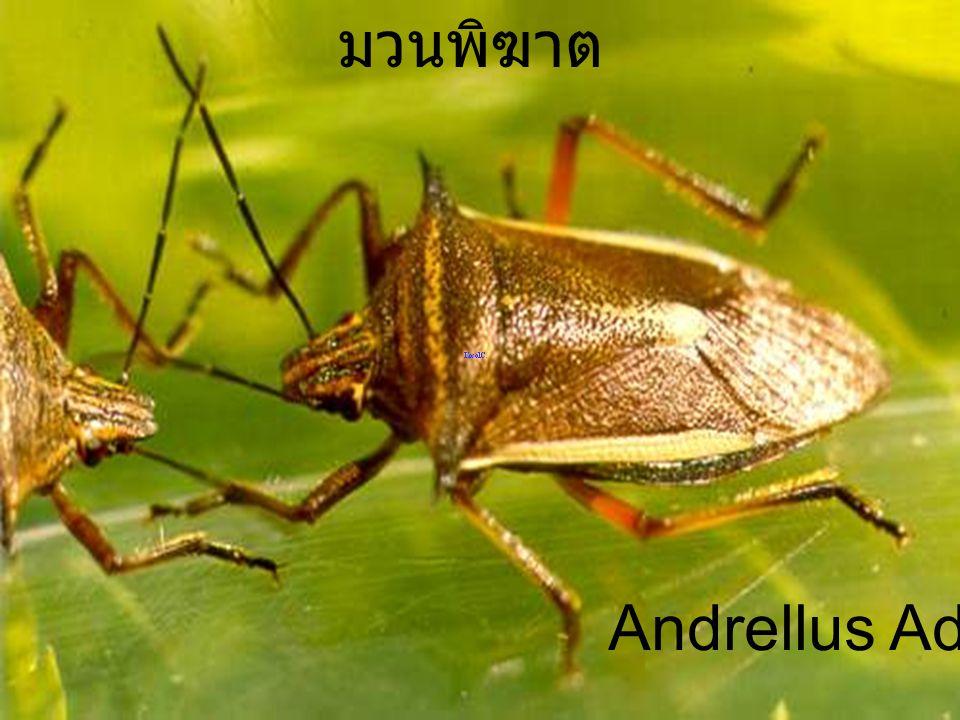 มวนพิฆาต Andrellus Adult 2h