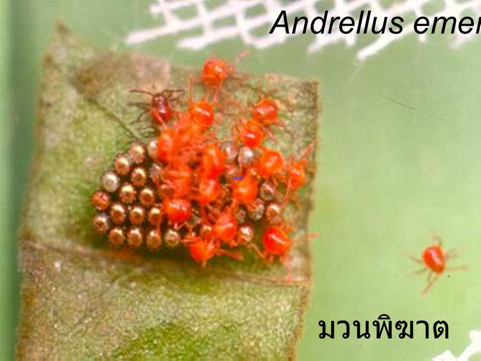 Andrellus emergence มวนพิฆาต