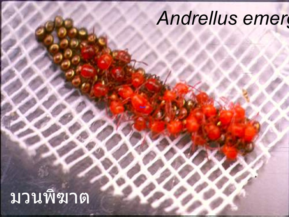 Andrellus emerging มวนพิฆาต