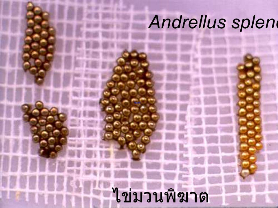 Andrellus splendens 4m ไข่มวนพิฆาต