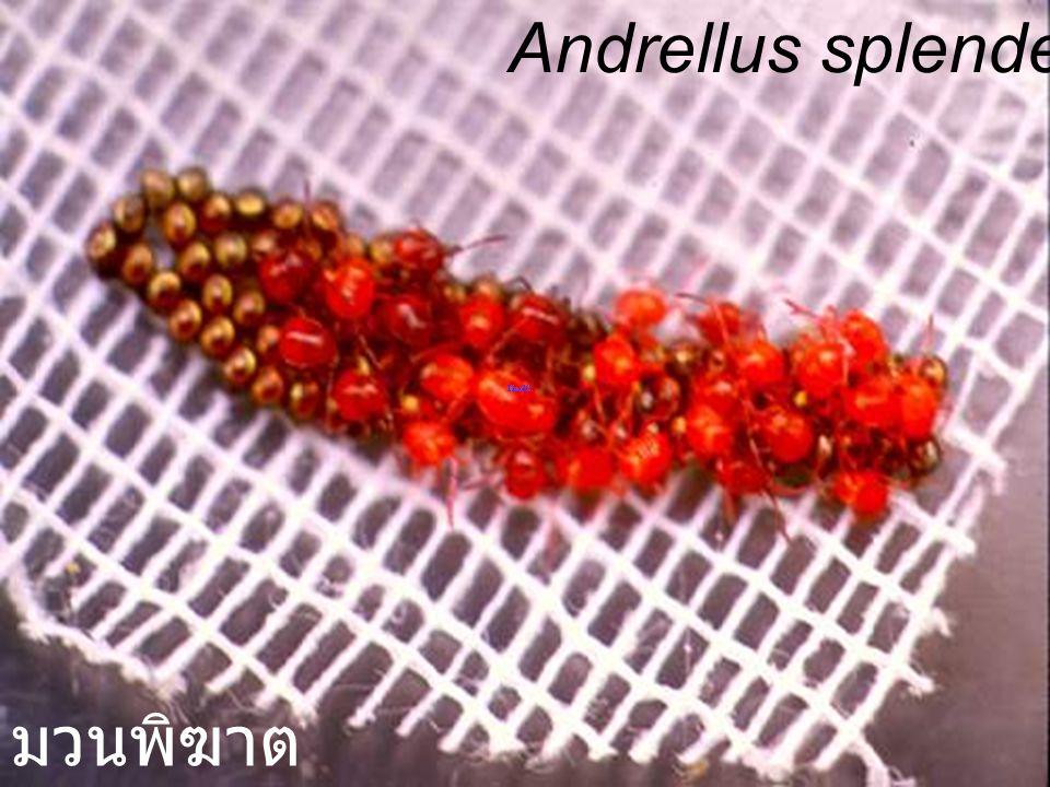 Andrellus splendens elm hg