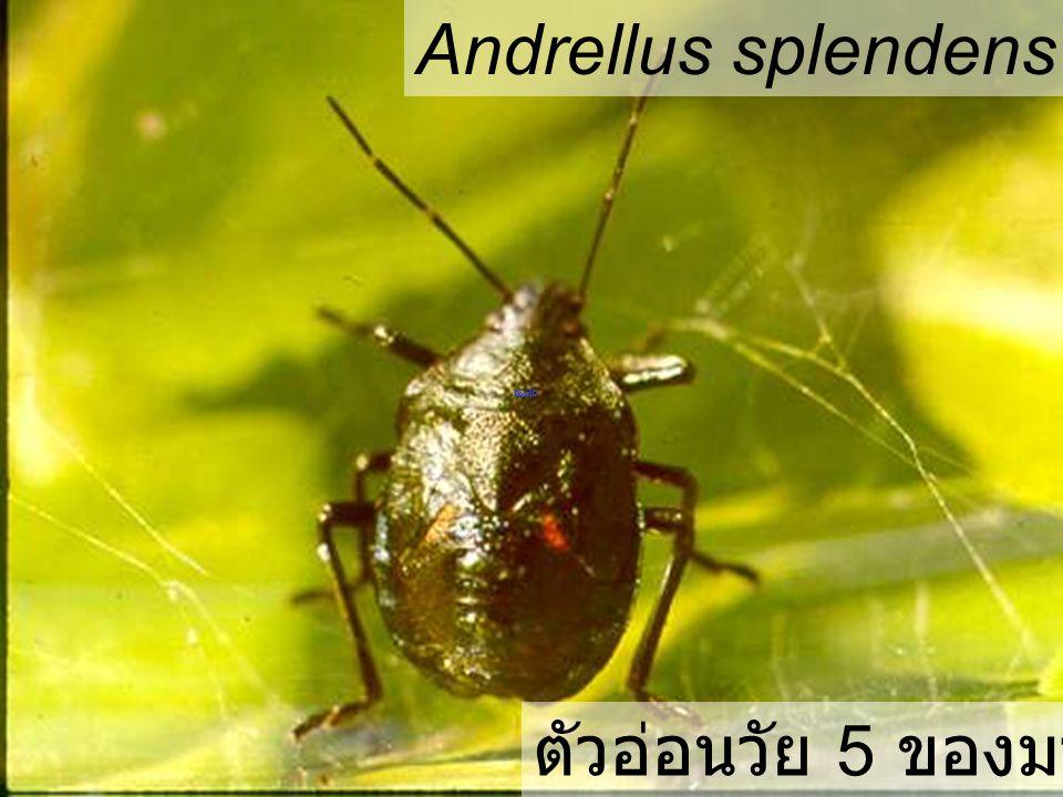Andrellus splendens Nymph5 PD